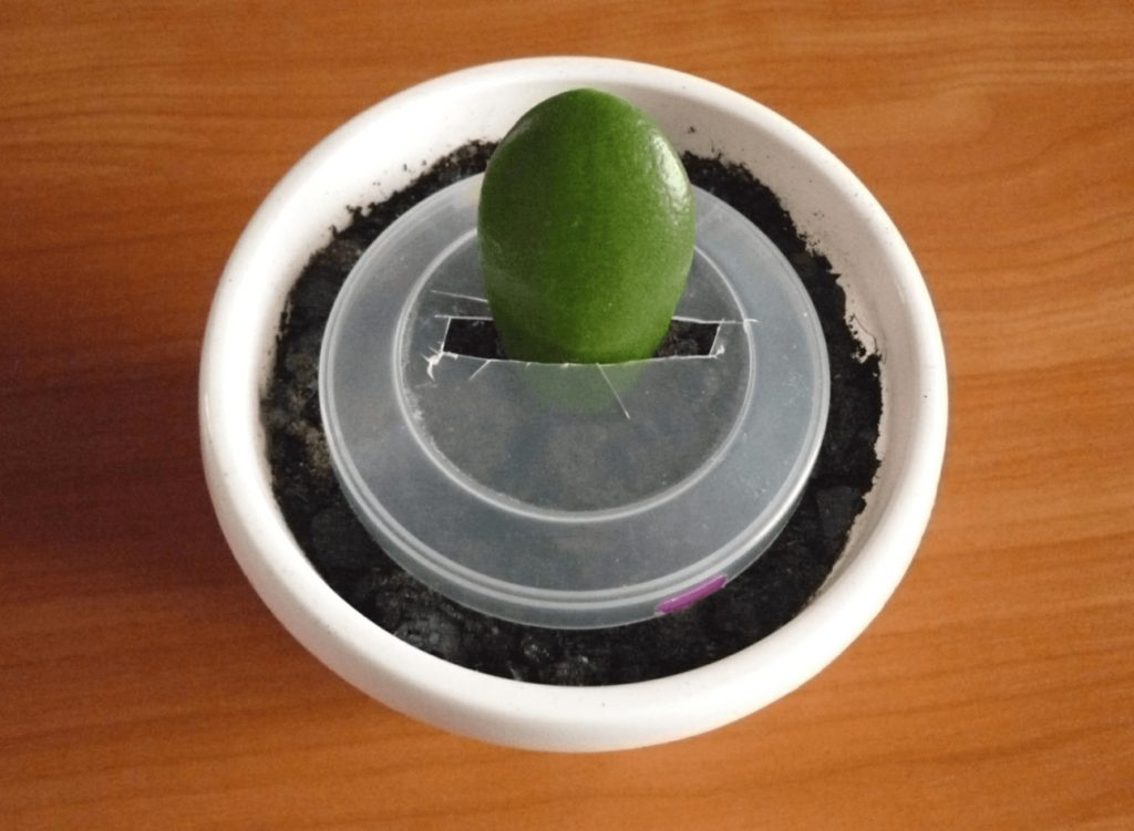 Как зафиксировать листовой черенок