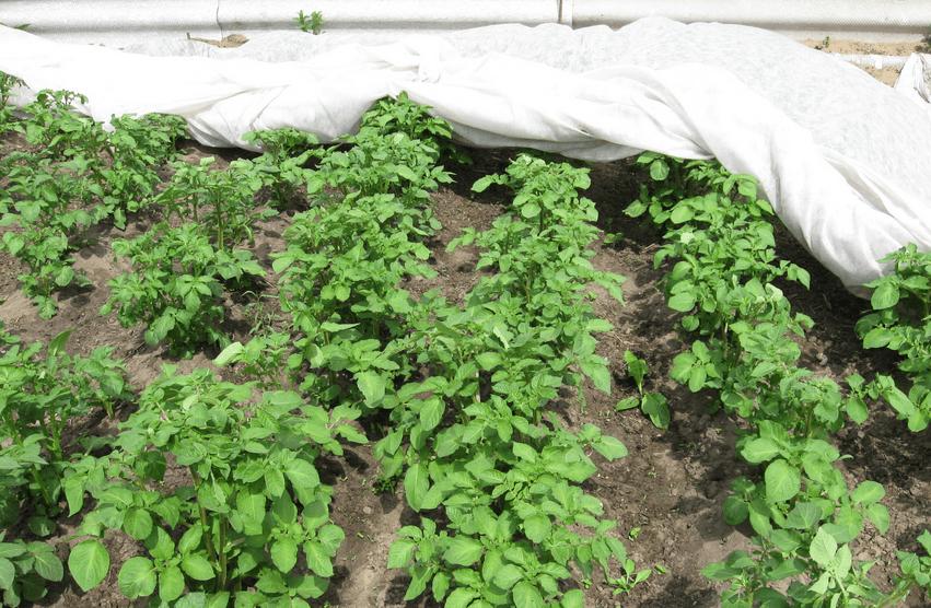 Картофель под белым агроволокном