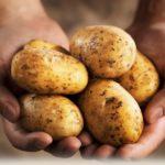 Картофель Укама