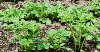 картофель в огороде