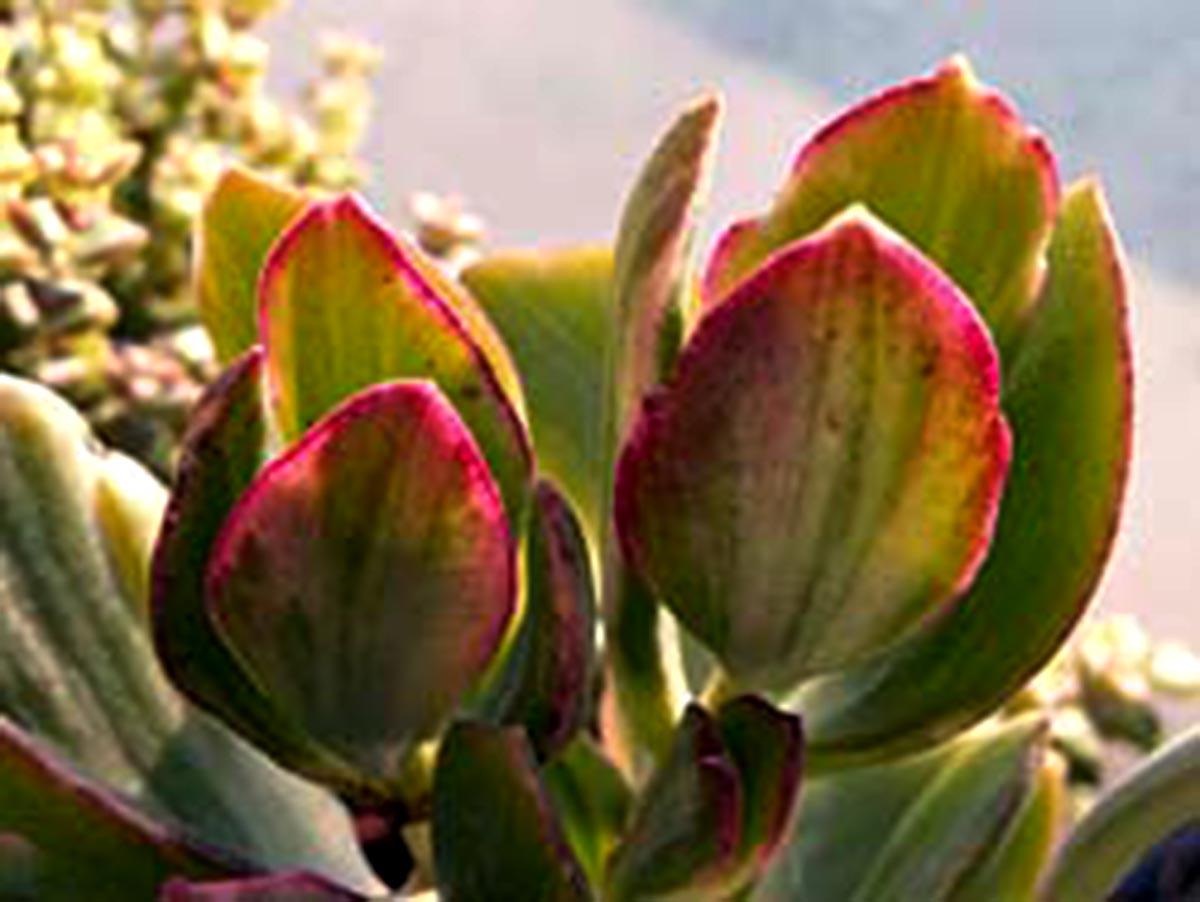 Crassula Tricolor