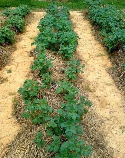 Мульчирование междурядий на картофельной грядке