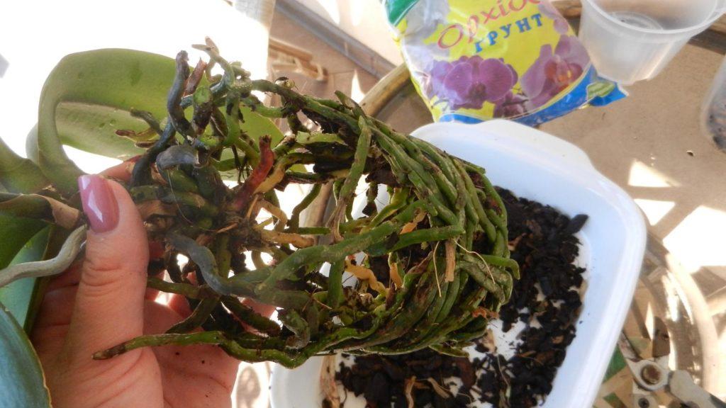 Освобождение корней орхидеи от субстрата