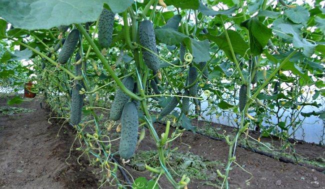 Огурцы в теплице, урожай
