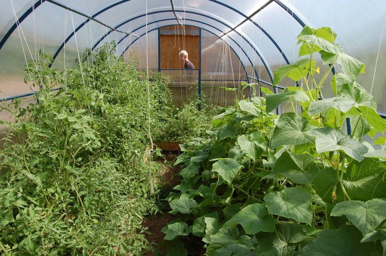 Выращивание огурцы в теплице из поликарбоната в открытом грунте, сорта огурцов, семена огурца