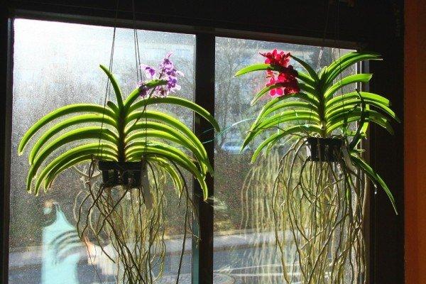 Орхидеи, растущие без грунта