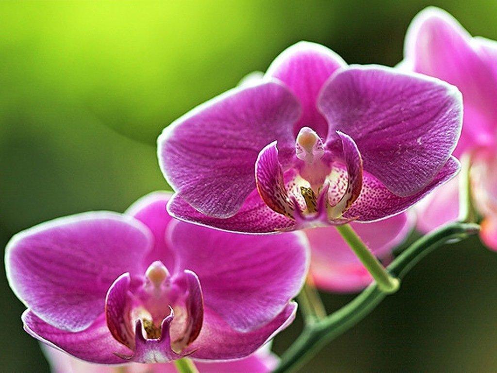 Орхидея: как заставить цвести упрямую красавицу