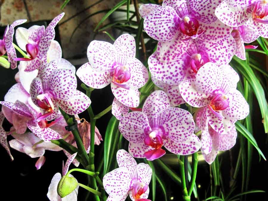 Почему не цветет орхидея и как уговорить ее выпустить новую стрелку