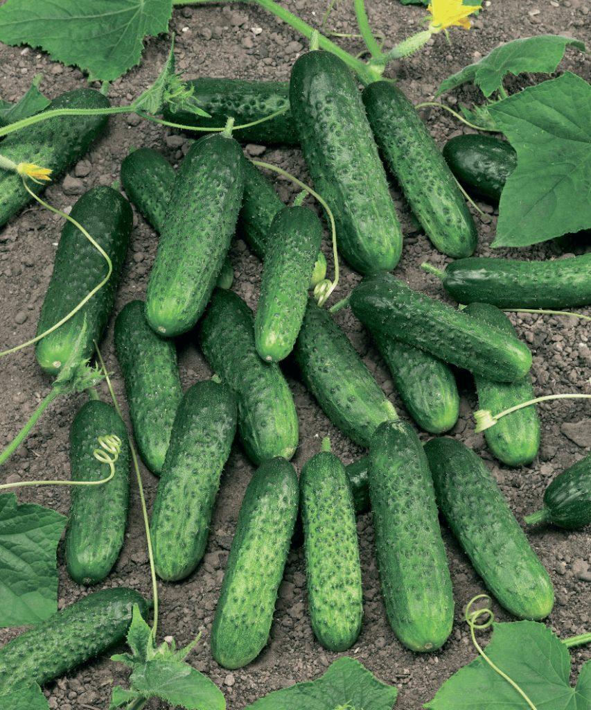 Плоды огурца Маринда