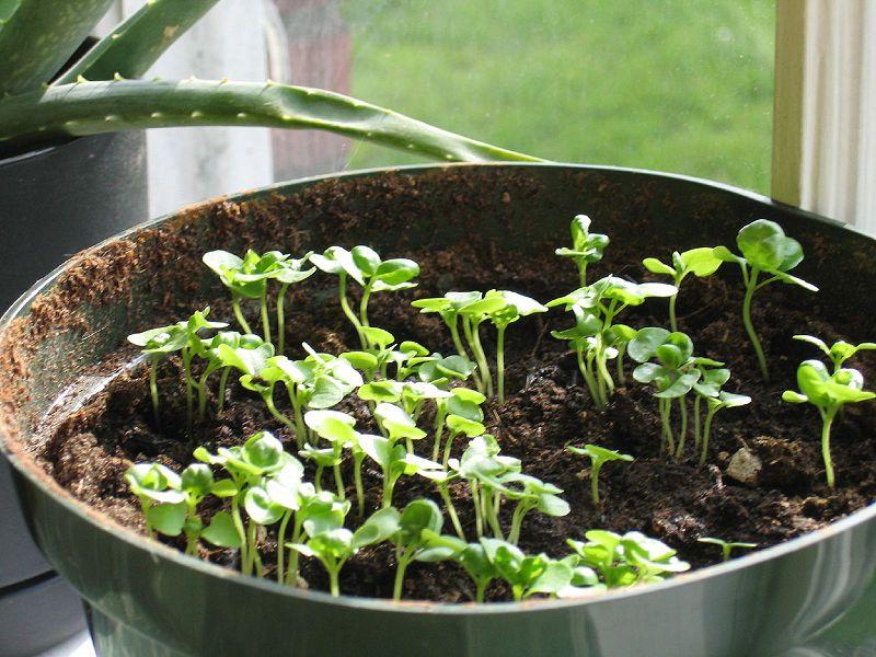Молодые растения базилика