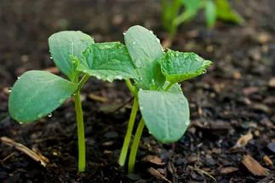 Посадка огурцов семенами в почву