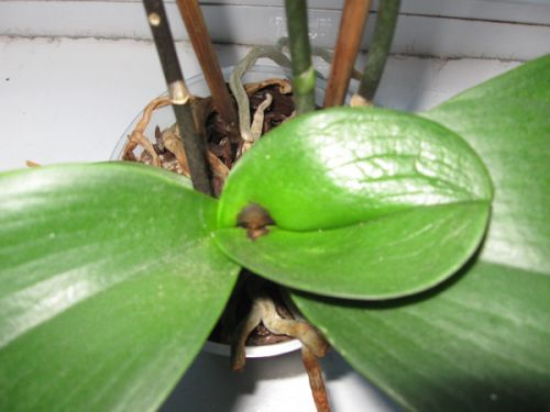 Последствия застоя воды в центре орхидеи