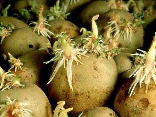 Семенной материал картофеля
