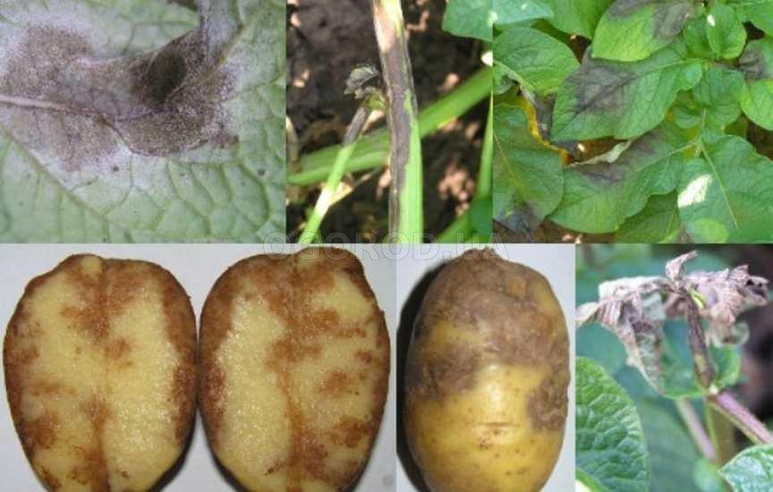 Признаки фитофтороза картофеля