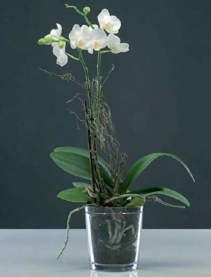Орхидея в тесном горшке