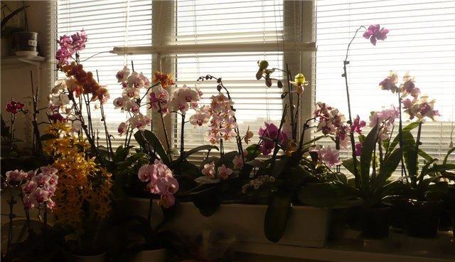 Расположение орхидей в помещении