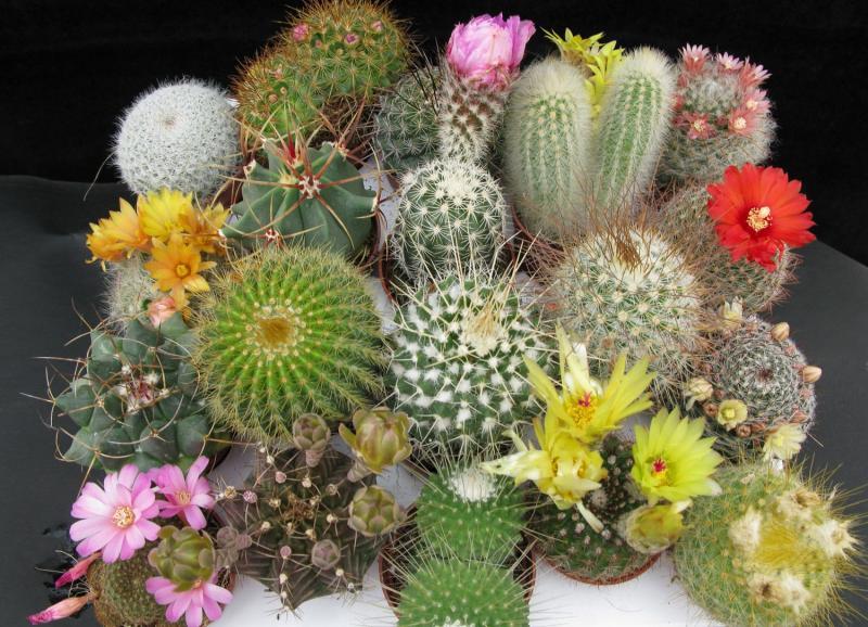 Все способы размножения домашних кактусов