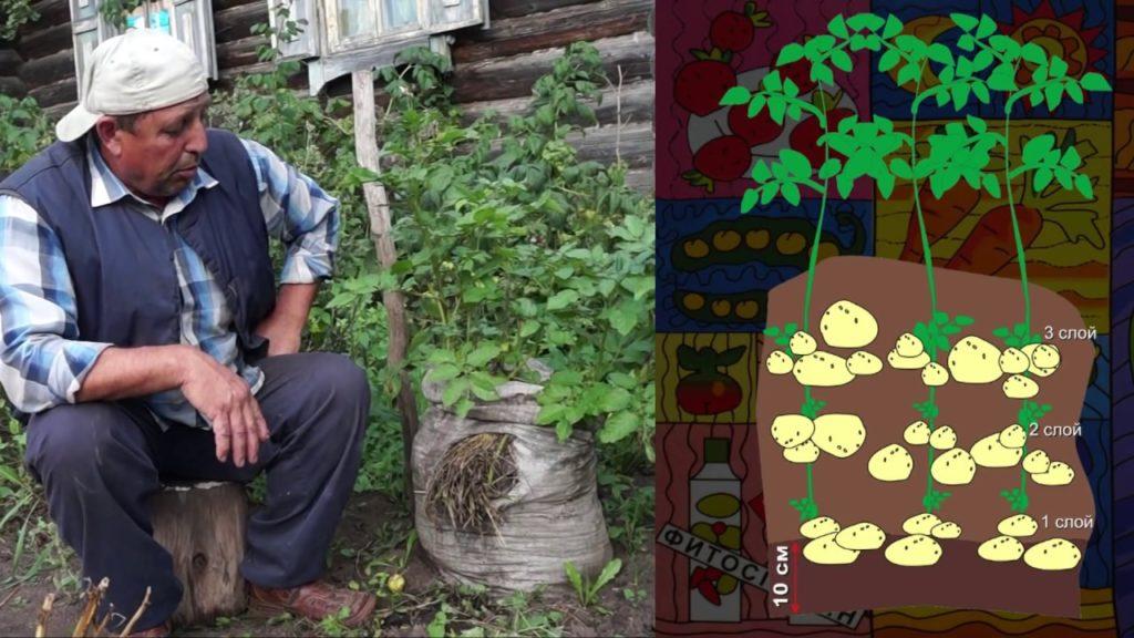 Схема высадки клубней при выращивании картофеля на балконе