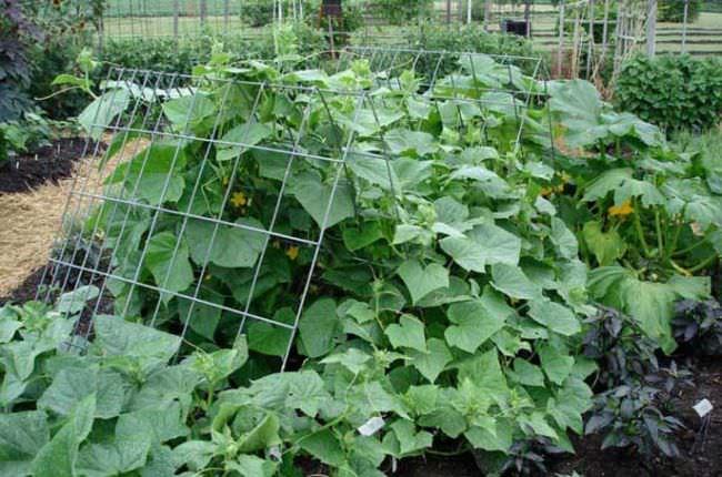 Огурцы в южном регионе выращивание 10