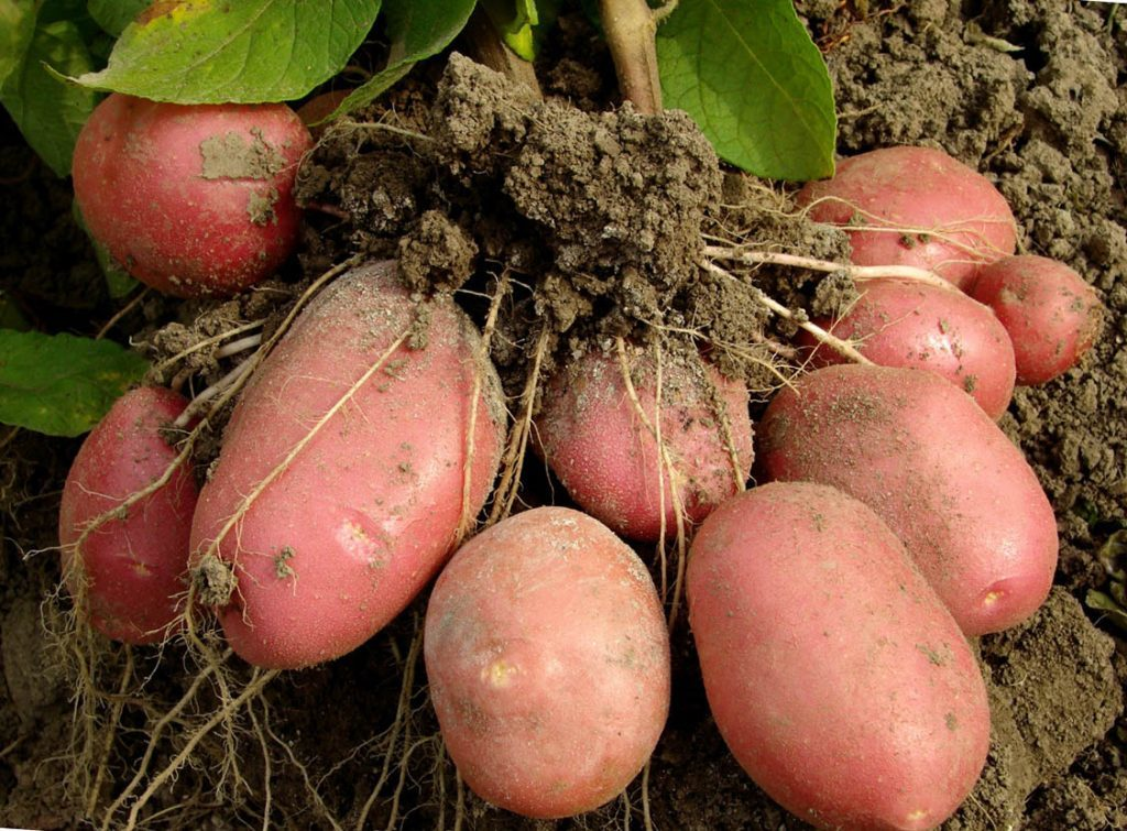 Собранный урожай картофеля