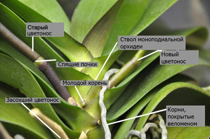 Моноподиальная орхидея