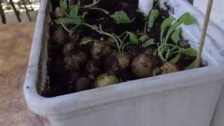 Урожай картофеля на балконе