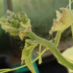 Вредители огурцов — паутинный клещ