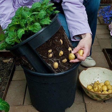 Выращивание картофеля в домашних условиях