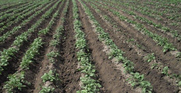 Выращивание картофеля в гребнях