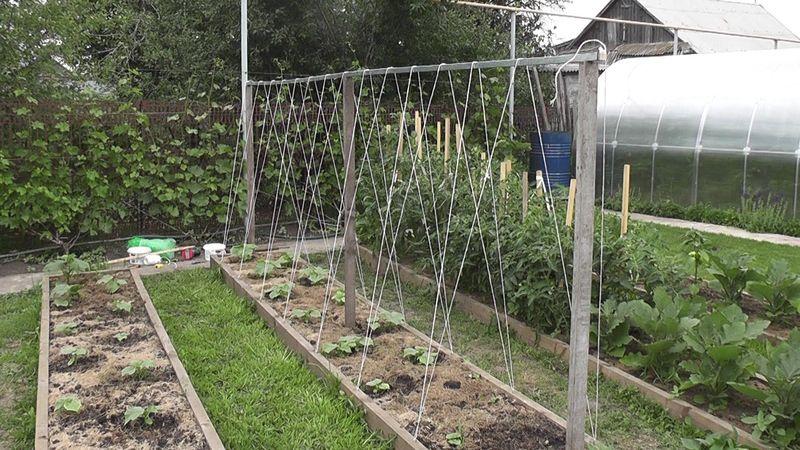 Выращивание огурцов на опоре