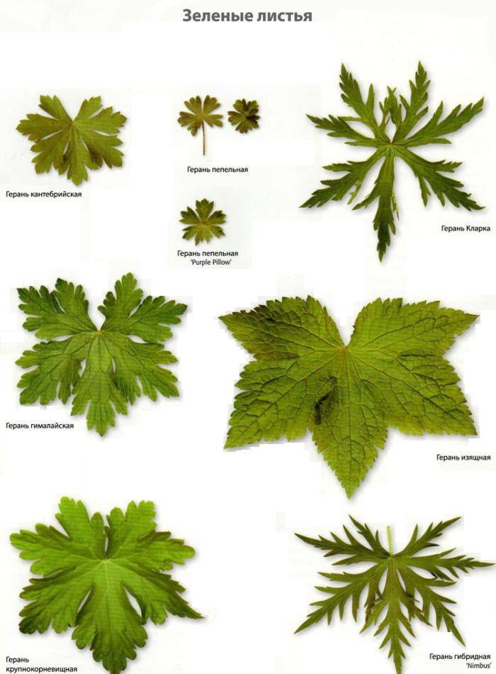 Зелёные листья гераниевых