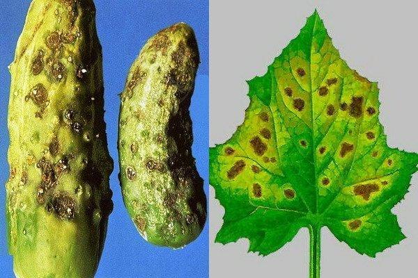Листья и плоды огурца, заболевшего оливковой пятнистостью