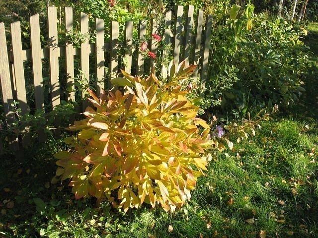 Куст пиона осенью