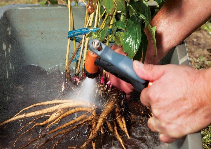 Обмывание куста пиона