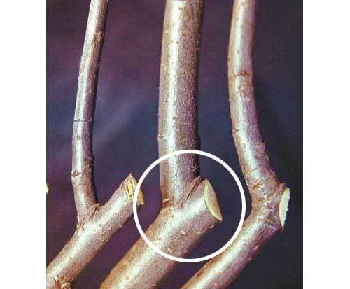 Обрезка ветви «на кольцо»
