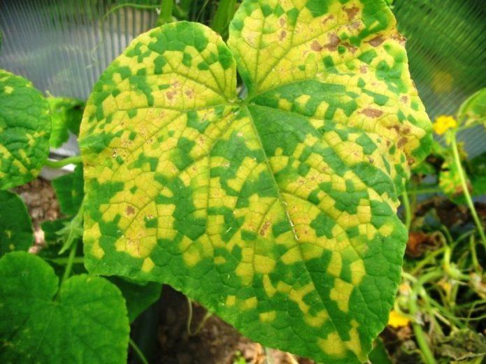 Пероноспороз на листьях