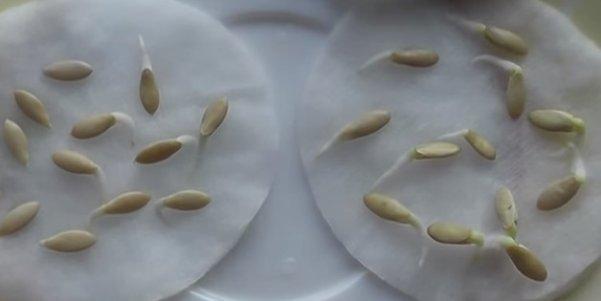 Пророщенные семена огурцов сорта Засолочный