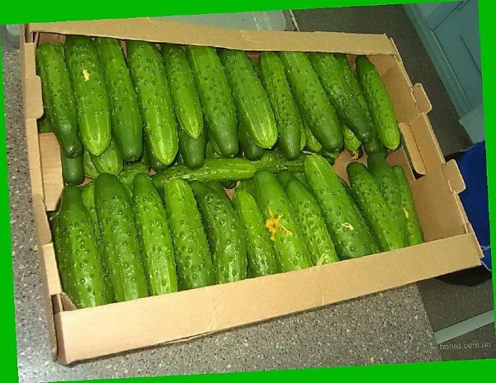 Урожай огурцов сорта Темп
