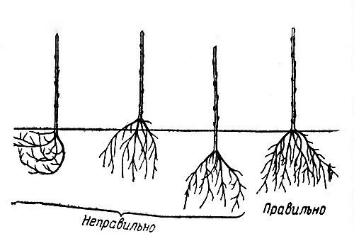 Расположение корней саженца под землёй