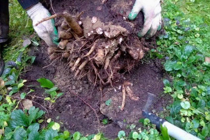 Выкопанный куст пиона