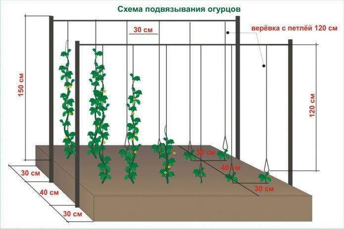 Схема вертикальной подвязки огурцов