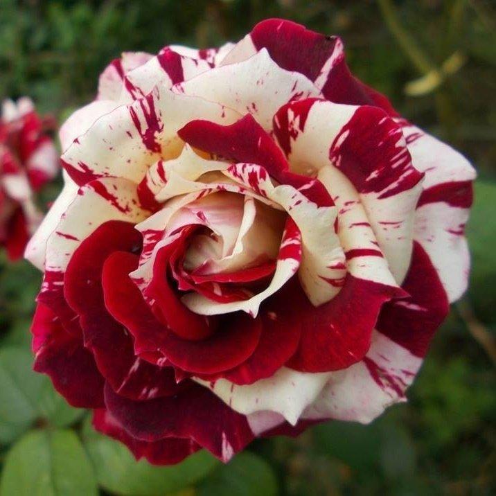 Пестрые сорта роз фото с названиями