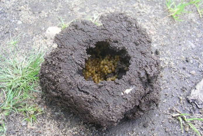Гнездо медведки с личинками
