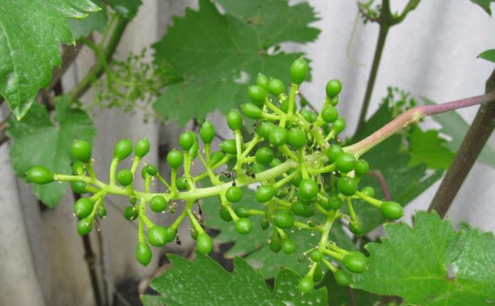 Кисть винограда после цветения