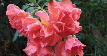 Летняя обрезка роз вызывает повторную волну великолепного цветения