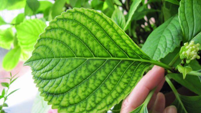 Лист гортензии, поражённый хлорозом