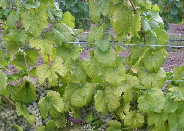 недостаток азота у винограда