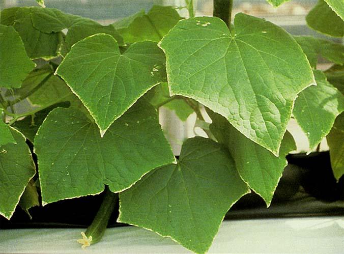 Огуречная листва при недостатке калия