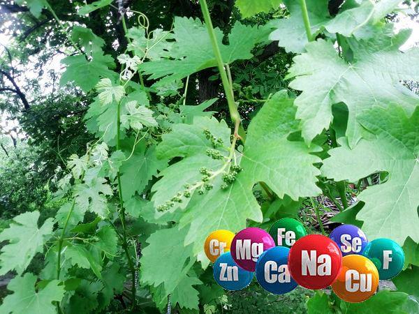 Подкормка винограда минеральными удобрениями
