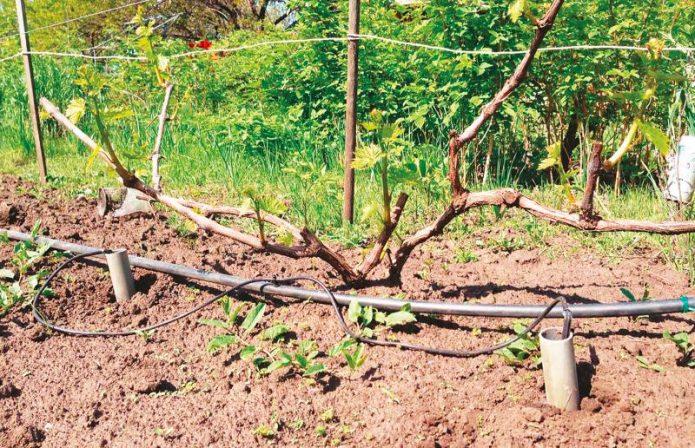 Полив винограда через трубы